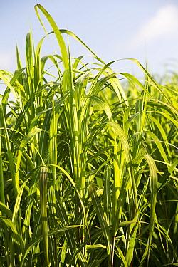 Elephant grass (Pennisetum purpureum)  grown for biofuel in Chapel Amble, Cornwall, England, UK. August.