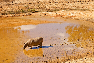 Cow drinking from nearly dried up watering hole on a farm near Shepperton, Victoria, Australia. Victoria and New South Wales suffered a drought which lasted between 1996-2011. February 2010.