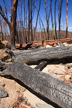 Forest destroyed by bush fires in December 2009. near Michelago, New South Wales, Australia, February 2010.