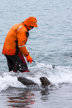 Man using a Go pro camera to video Antarctic Fur Seal pups (Arctocephalus gazella) underwater at Salisbury Plain, South Georgia, Southern Ocean.