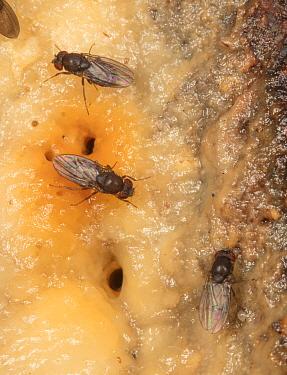 Vinegar flies / Fruit flies (Drosophila sp.) feeding on fermented sap or alcohol flux, Fort Washington State Park, Montgomery County, Pennsylvania, USA, June.