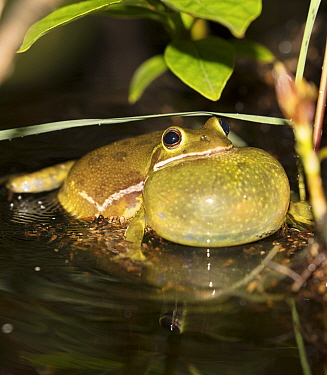 Barking treefrog (Hyla gratiosa) calling, vocal sac inflated,  Blackbird State Forest, Delaware, USA, May.