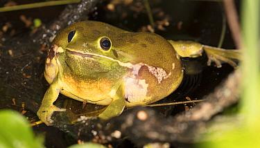 Barking treefrog (Hyla gratiosa) Blackbird State Forest, Delaware, USA, May.