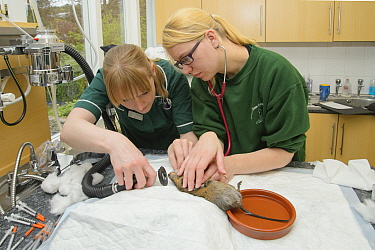 Water vole (Arvicola amphibius) being anaesthetised for health check, prior to release into the wild. Head Vet Nurse Leasa Neame and Vet Nurse Laura Wilson check the vole's heart rate and warm its tai...