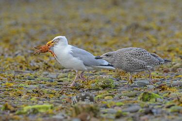Herring gull (Larus argentatus) with Shore crab (Carcinus maenas ), Chanonry Point, Moray Firth, Highlands, Scotland. June 2017