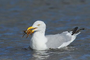 Herring gull (Larus argentatus) with Shore crab (Carcinus maenas ) prey, Chanonry Point, Moray Firth, Highlands, Scotland. September.