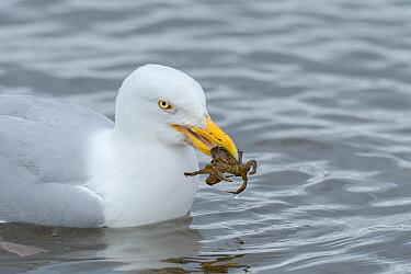 Herring gull (Larus argentatus) with shore crab (Carcinus maenas ), Chanonry Point, Moray Firth, Highlands, Scotland. June.