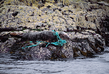 Grey Seal (Halichoerus grypus) hauled out on rock entangled in plastic fishing netting, Farne Islands, Northumberland, July 1997