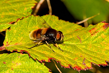Bumblebee-mimic Hoverfly (Eristalis intricarius) Lewisham, London, September