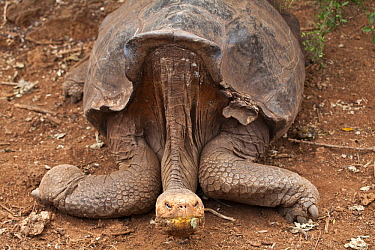 Galapagos iant tortoise (Chelonoidis nigra) captive at Charles Darwin Research Centre, Galapagos Islands,