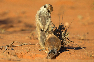 Meerkat (Suricata suricatta) interacting with a Ground squirrel (Xerus inauris), Kgalagadi Transfrontier Park, Northern Cape, South Africa, January. Non-ex.