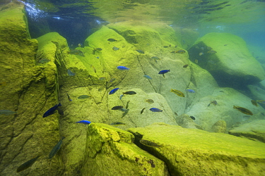 Cichlids (Cichlidae) in Lake Malawi, Malawi. Photographed for The Freshwater Project