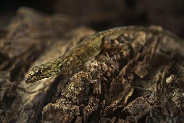 Annobon Dwarf Gecko  (Lygodactylus delicatus) Principe Island, UNESCO Biosphere Reserve, Democratic Republic of Sao Tome and Principe, Gulf of Guinea.