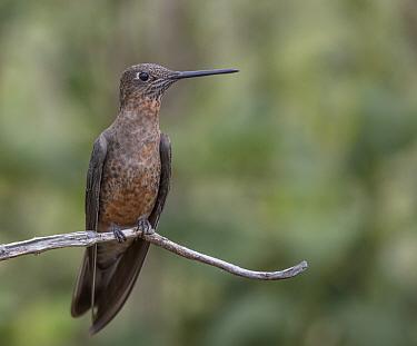 Giant hummingbird (Patagona gigas) Antisanilla Ecological Reserve, Ecuador,