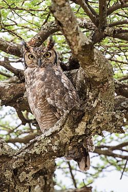 Spotted eagle-owl (Bubo africanus) in Acacia woodland. Ndutu, Ngorongoro Conservation Area, Tanzania.