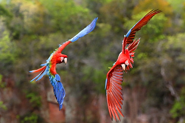 Pair of Red-and-green macaws  (Ara chloropterus) in flight over forest canopy. Buraco das Araras, Jardim, Mato Grosso do Sul, Brazil. September.