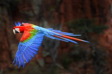 Red-and-green macaw (Ara chloropterus)  in flight over forest canopy. Buraco das Araras, Jardim, Mato Grosso do Sul, Brazil. September.
