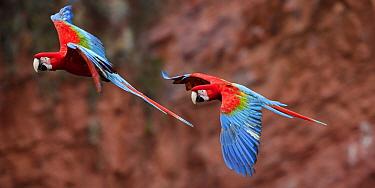 Red-and-green macaws  (Ara chloropterus) in flight over Buraco das Araras, Jardim, Mato Grosso do Sul, Brazil. September.