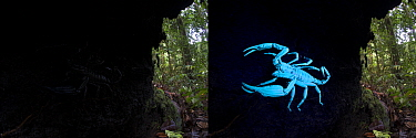 Comparison of two pictures of Borneo giant forest scorpion (Heterometrus longimanus) resting inside a fallen hollow log. Danum Valley, Sabah, Borneo. Photographed with natural light and then illuminat...