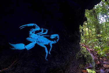 Borneo giant forest scorpion (Heterometrus longimanus) resting inside a fallen hollow log. Danum Valley, Sabah, Borneo. Photographed with natural light and UV light, see 1588717 for a comparative imag...