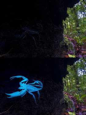 Borneo giant forest scorpion (Heterometrus longimanus) resting inside a fallen hollow log. Danum Valley, Sabah, Borneo. Photographed with natural light and then illuminated with UV light.