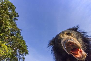 Sloth bear (Melursus ursinus) low angle portrait, Daroiji Bear Sanctuary, Karnataka, India. Remote camera image.