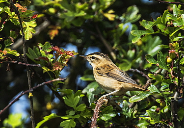 Sedge warbler (Acrocephalus schoenobaenus) perched in a hawthorn bush. Druridge Bay, Northumberland, England, UK, July.