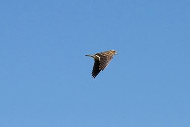 Calandra larks (Melanocorypha calandra)  in flight, Alentejo, Portugal, April.