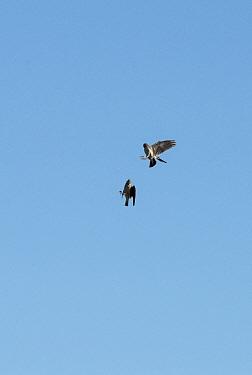 Calandra larks (Melanocorypha calandra) fighting over territory in flight, Alentejo, Portugal