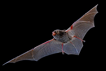 Bent winged bat (Miniopterus) in flight, Gorongosa National Park, Sofala, Mozambique. Controlled conditions