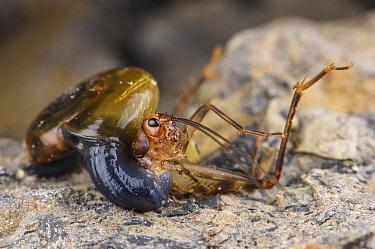 Carnivorous land snail (Oxychilus sp.) eating a cave cricket (Petaloptila andreinii), Italy