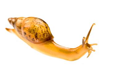Snail (Euglandina sp.) on white background,  Peru