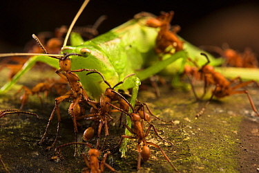 Army ants (Eciton hamatum) with cricket prey, Los Amigos Biological Station, Peru