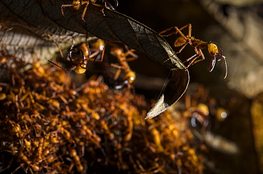 Army ants (Eciton hamatum) soldiers on the foreground patrolling near path of workers. Los Amigos Biological Station, Peru