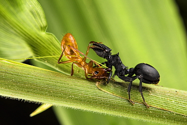 Ant (Cephalotes atratus) on the right, fighting with another unidentified ant, Los Amigos Biological Station, Peru