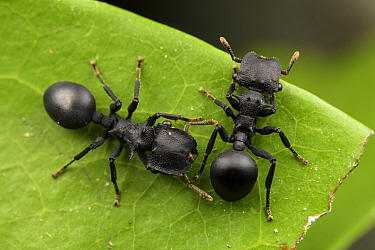Ants (Cephalotes atratus) grooming each other, Los Amigos Biological station, Peru