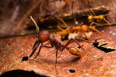 Army ant (Eciton dulcium) Los Amigos Biological Station, Peru