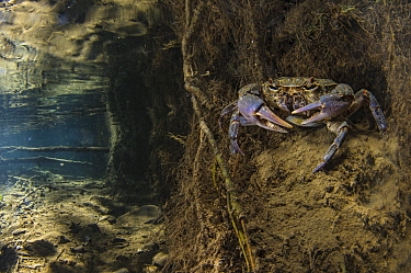 Freshwater crab (Potamon fluviatile), adult female on stream bed at the entrance of her burrow, Italy.  August.
