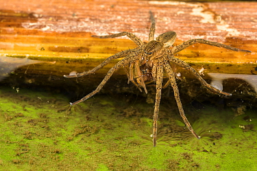 Great or Fen Raft spider (Dolomedes plantarius), sub-adult eating a Wolf-spider (Pirata sp.), Alessandria, Italy, August.