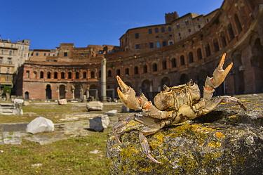 Freshwater crab (Potamon fluviatile) living in old Roman ruins, Traiano's Market, Rome, Italy