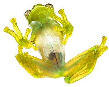 Glass frog (Rulyrana spiculata) ventral / underside view , Cosnipata Valley, Peru