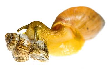 Carnivore snail (Poiretia dilatata), adult individual eating another snail (Pomatias elegans), Murgia Materana Park, Italy.