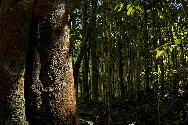 Mossy leaf- tailed gecko (Uroplatus sikorae) camouflaged on tree trunk in forest habitat, Andasibe, Madagascar