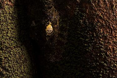 Mossy leaf- tailed gecko (Uroplatus sikorae) camouflaged on tree trunk, Andasibe, Madagascar