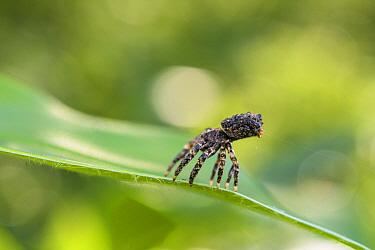 Spider (Phrynarachne rugosa) Andasibe, Madagascar