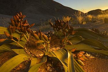 Welwitschia (Welwitschia mirabilis) female plant with cones at sunset, Namib Naukluft National Park, Swakopmund, Namibia.