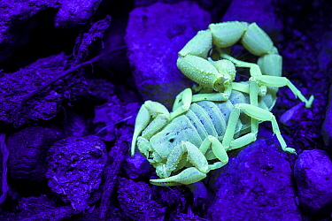 Scorption (Parabuthus granulatus) under UV light, Namibia.