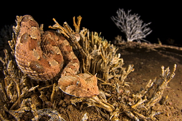 Horned adder (Bitis caudalis) waiting for a passing prey into the Namib Desert, Brandberg, Namibia