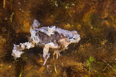 Andean frog (Bryophryne cophites) dead from chytrid fungus (Batrachochytrium dendrobatidis) Cusco region, Peru.