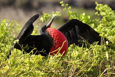 Great frigatebird (Fregata minor) male, inflating red gular throat pouch to attract a female, Genovesa Island, Darwin Bay, Galapagos Islands. April.